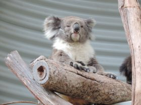 Picture of Koala sitting on branch