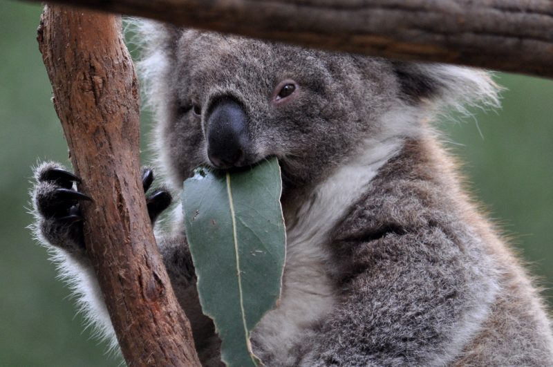 Learn about our Koalas in the Eucalypt Forest
