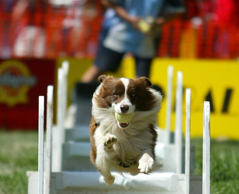 Dog jumping hurdles carrying a ball