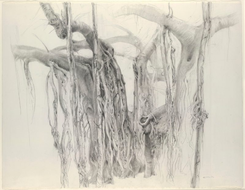 Detailed pencil drawing of a Moreton Bay Fig tree