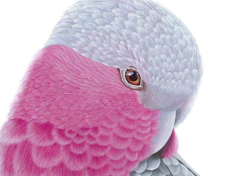 Pink and Grey Galah - 101 x 101cm acrylic on canvas painting.