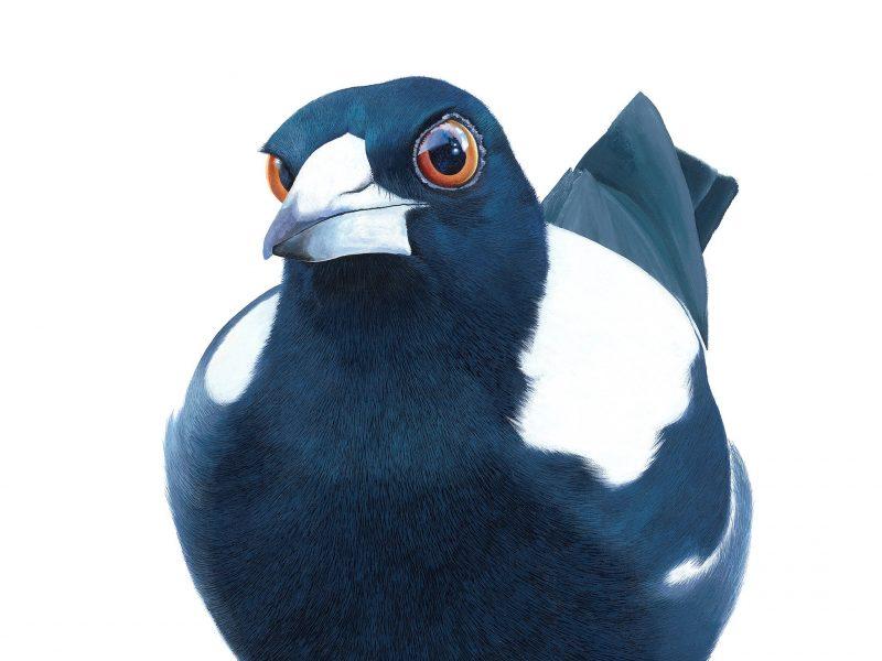 Curious Magpie - 101x101cm acrylic on canvas painting