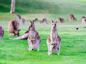 Kangaroos at Canberra Kangaroo Tours