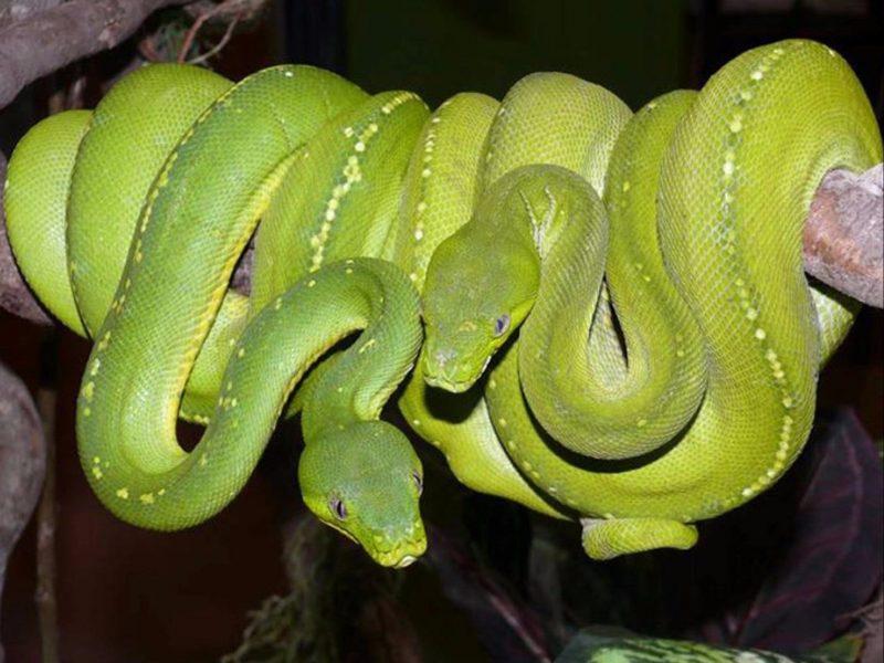 Aussie green tree pythons