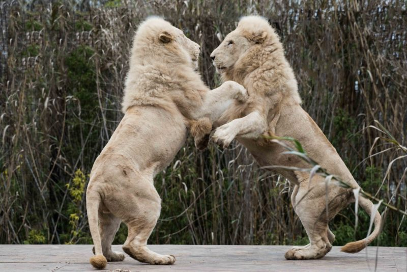 Two lions playing at the National Zoo & Aquarium