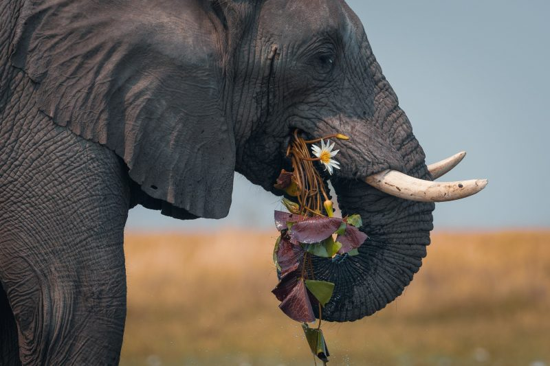 Elephant eating water lilies
