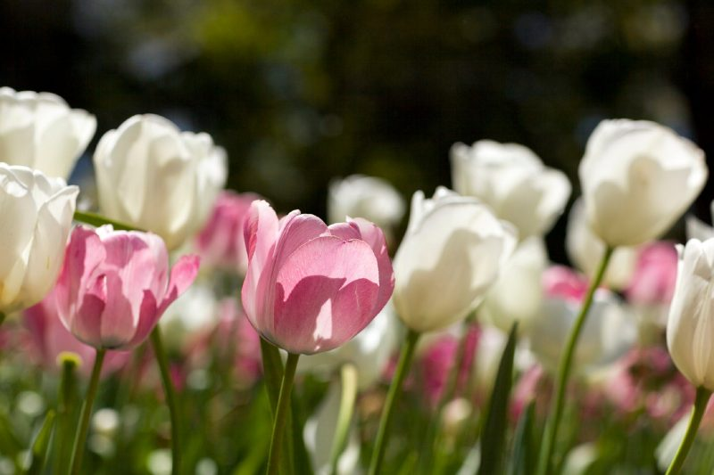 close up of pink and white tulip