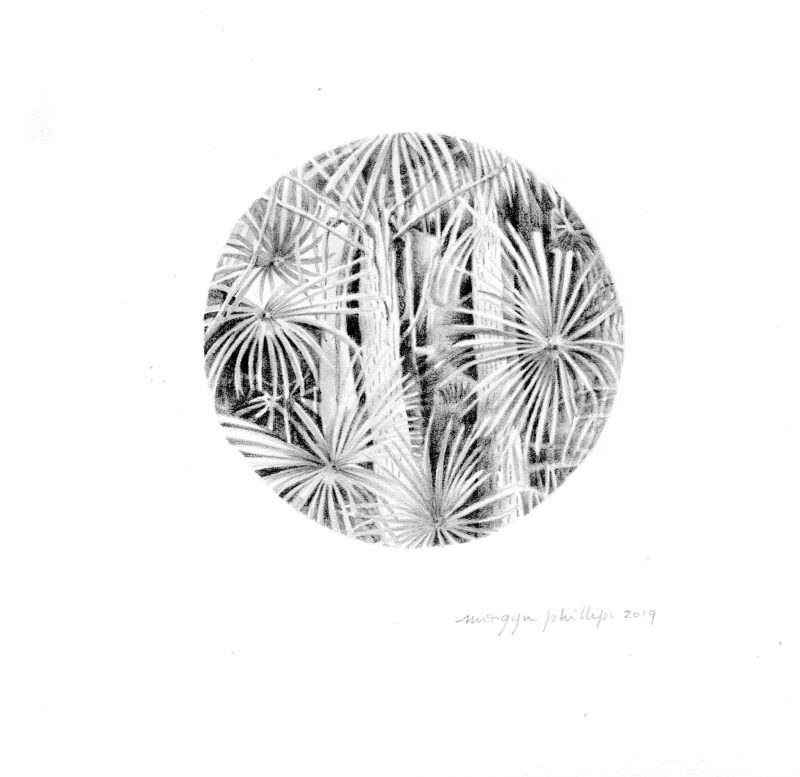 Coastal Cabbage Palms, graphite by Morgyn Phillips