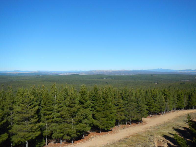 Kowen Pine Forest under clear blue skies