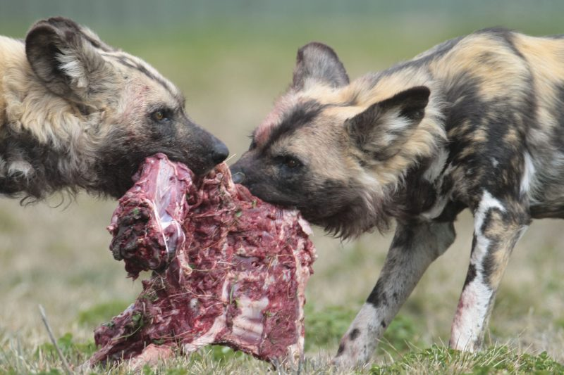 Wild dogs feasting on raw meat