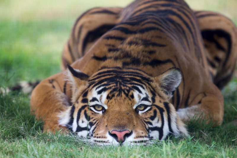 Tiger crouched down staring at the camera
