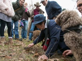 Anne from Tarago Truffles conducts a truffle hunt