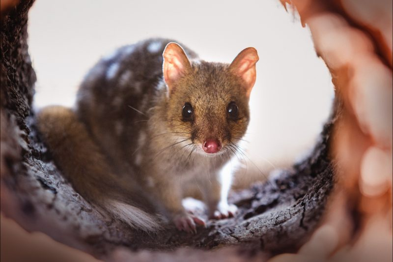 Eastern Quoll staring into the camera