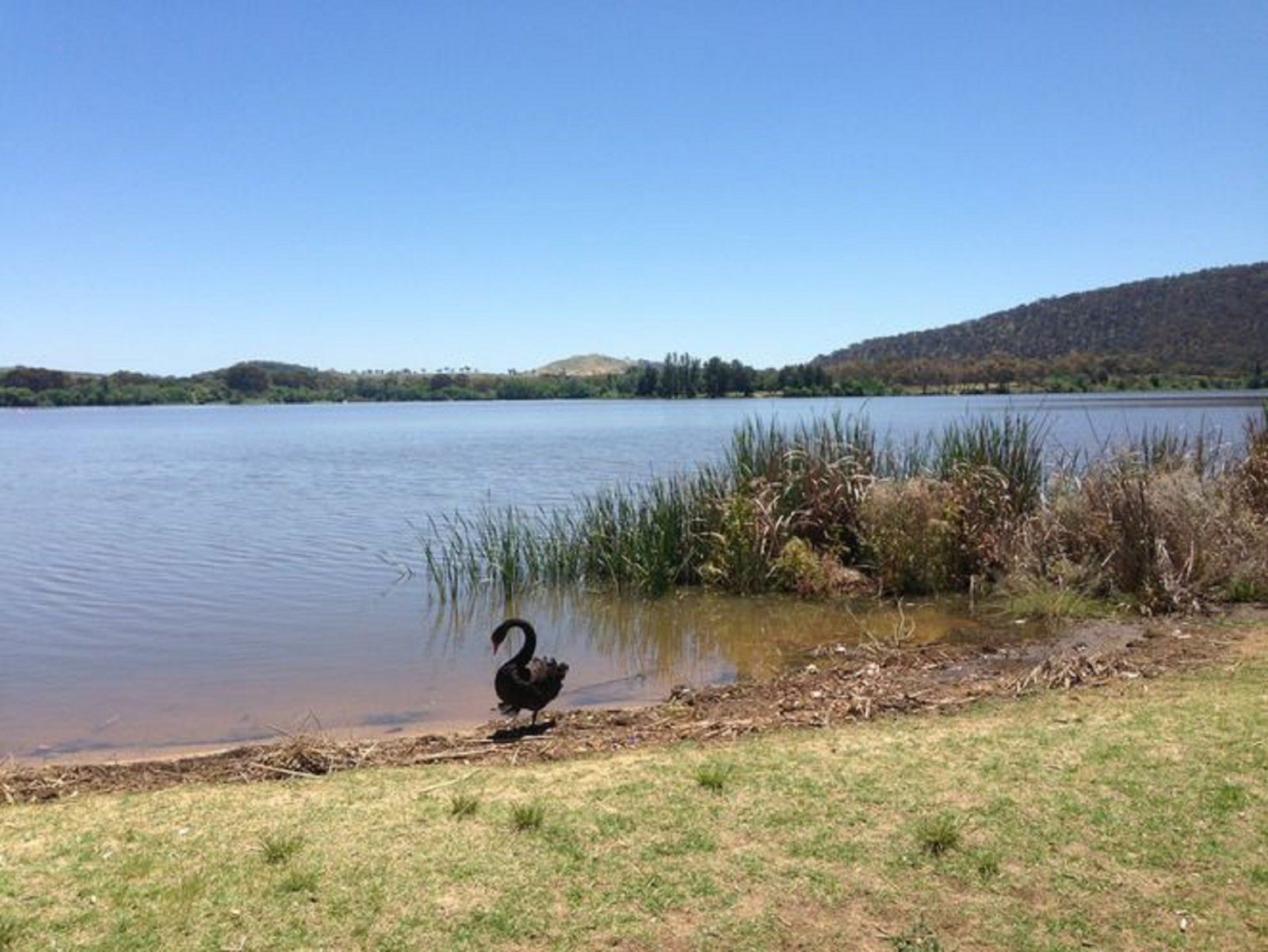 Swan next to Yarralumla Bay