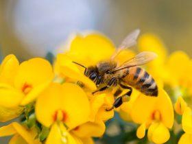 European honeybee - apis mellifera