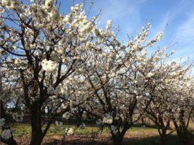 Allambie Orchard