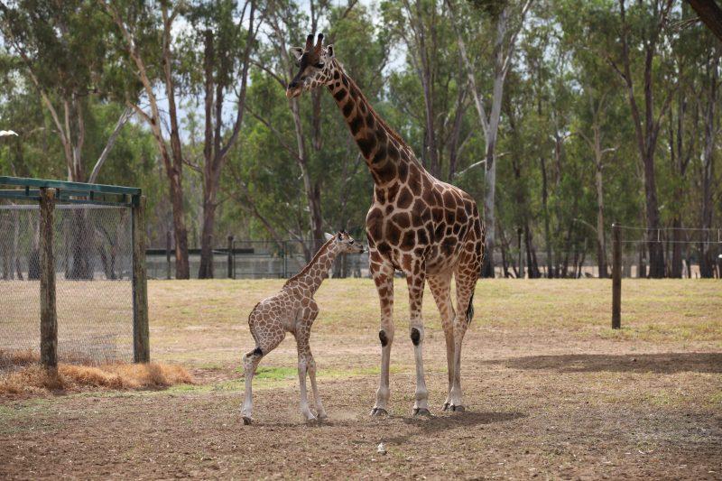 Munzi and her calf Mzuri