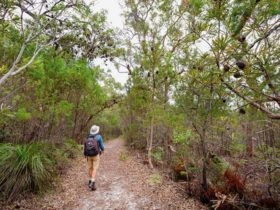 Angophora grove walking track