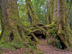 Antarctic Beech picnic area, Border Ranges National Park. Photo: John Spencer