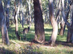 Kangaroo hopping through the trees. Photo: Rob Cleary
