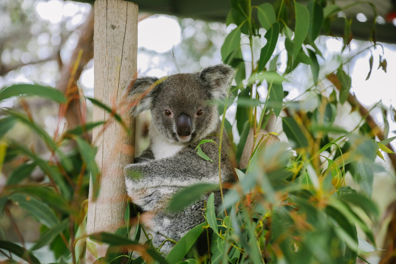 Koala talks 12pm & 2.30pm each day