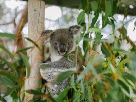 Koala talks 12pm & 2.30pm each day
