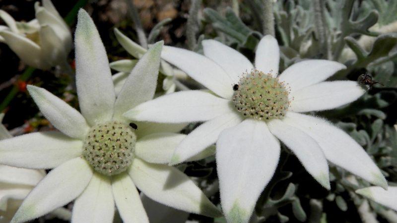 Actinotus helianthi