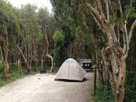 Tent surrounded by trees at Black Rocks campground. Photo: Holly North/OEH
