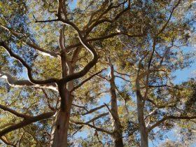 Tree canopy, Watagans National Park
