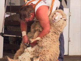 Sheep shearing at Bombala Show