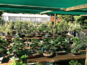 1000s of bonsai plants