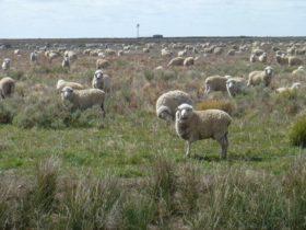 Sheep grazing, The Long Paddock near Booligal, New South Wales