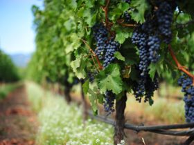 Canberra Winery Tours