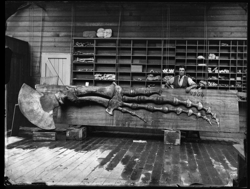 Black and white photo of the bones of a Sperm Whale flipper, Megaptera longimana.