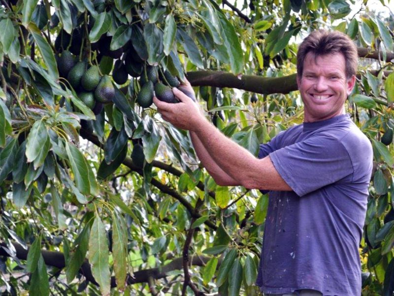 Avocado grower picking fruit