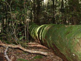 Treefall, Watagans National Park