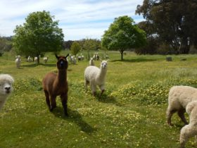 Clearview Alpacas
