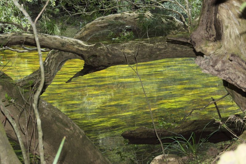 River grass and water gums