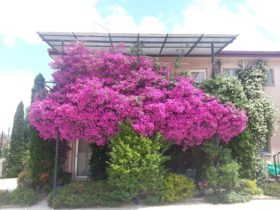 Crest Motor Inn in bloom