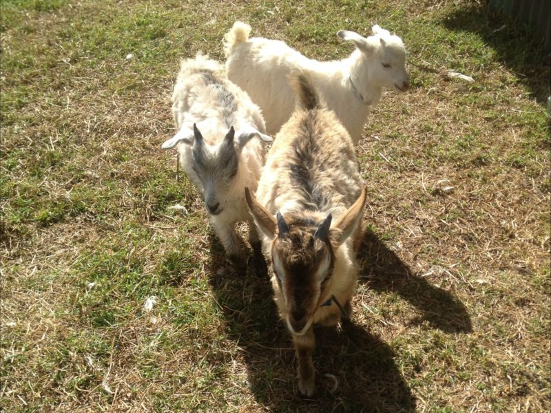 Pet Goats