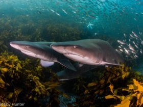 Grey Nurse Sharks at one of their favourite sites