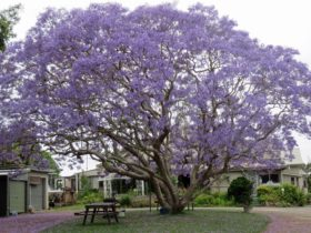 Ecotel Homestead and Jacaranda tree