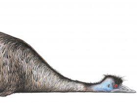 emu drawing