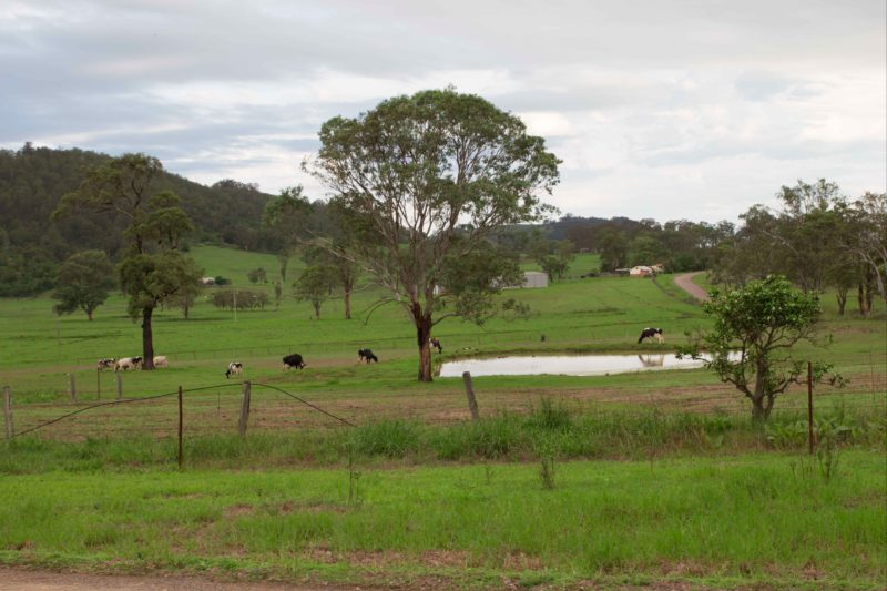Cows in the Paddock