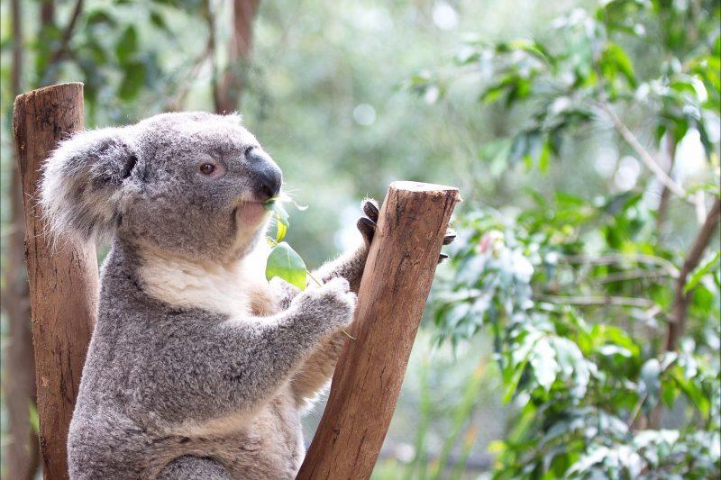 Koala on perch