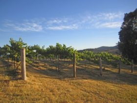 Vines at Flyfaire Wines