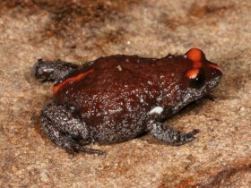 Red crowned toadlet