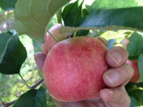 A delicious Pink Lady Apple