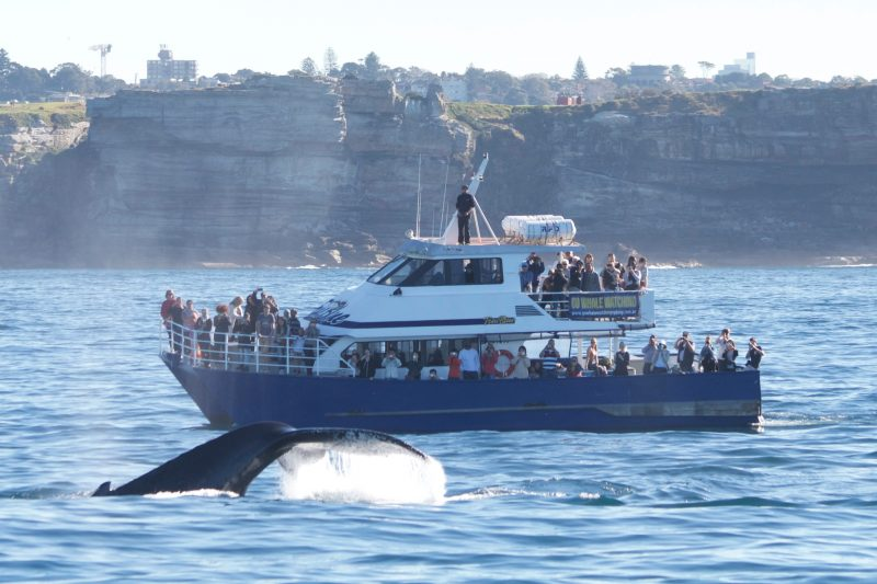 Our boat True Blue with humpback whale off Sydney 2016