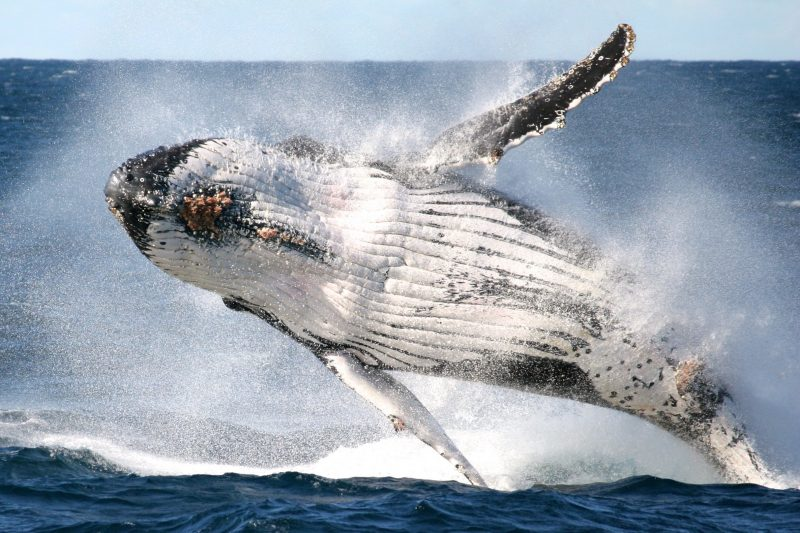 Humpback Whale Breach - Sydney 2014